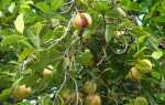 Как выглядит и где растет мускатный орех