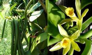 Как растет ваниль в природе и в домашних условиях