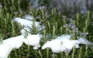 Зимовка розмарина, как укрыть розмарин на зиму