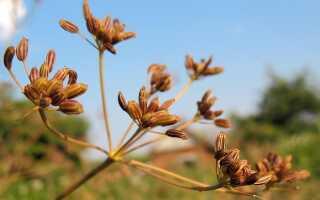 Тмин обыкновенный: полезные свойства и противопоказания