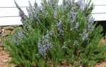 Выращивание розмарина в открытом грунте
