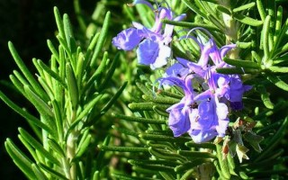 Розмарин: что это за растение, где растет и как цветет