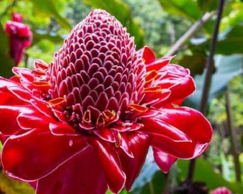 Как цветет имбирь и как вырастить его в домашних условиях.