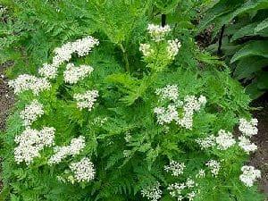 Растение анис обыкновенный