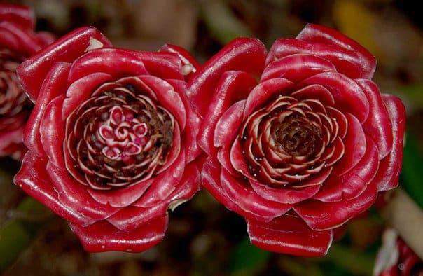 как цветет имбирь