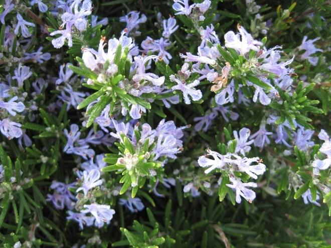 розмарин цветет