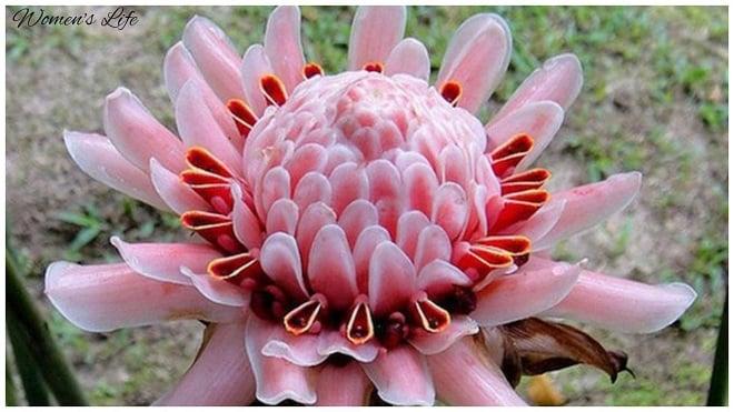 цветок имбиря