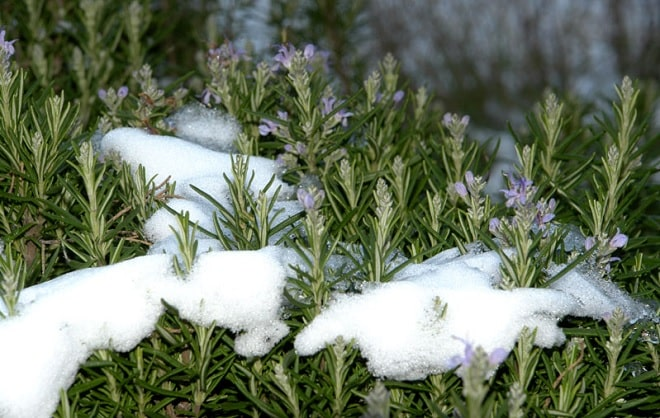 розмарин в снегу